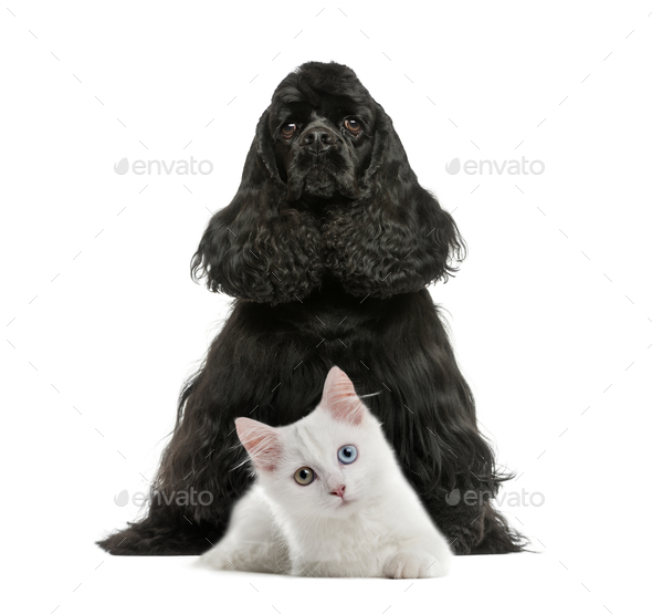 English Cocker Spaniel sitting, White kitten, in front of white background - Stock Photo - Images