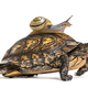 Ornate or painted wood turtle, with Brown-lipped snail, on it's back - PhotoDune Item for Sale