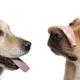 Labrador Retriever, 2 years old, with Mortadella on his nose, Close-up of Labrador retriever - PhotoDune Item for Sale