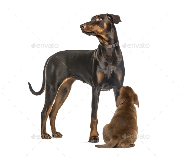 Doberman Pinscher, Labrador Retriever Puppy looking up, in front of white background - Stock Photo - Images