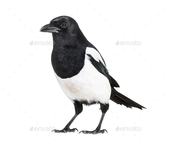 Common Magpie, Pica pica, in front of white background - Stock Photo - Images