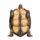 Plastron of the ornate or painted wood turtle, Rhinoclemmys pulcherrima - PhotoDune Item for Sale
