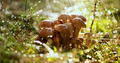Armillaria Mushrooms of honey agaric In a Sunny forest in the ra - PhotoDune Item for Sale
