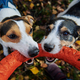 Jack russells fight over stick - PhotoDune Item for Sale