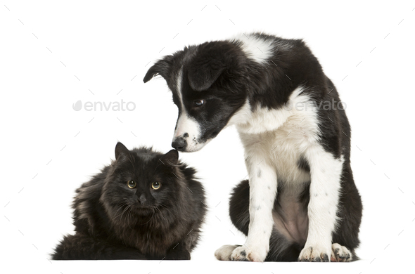 Border Collie puppy and black cat sitting together against white background - Stock Photo - Images