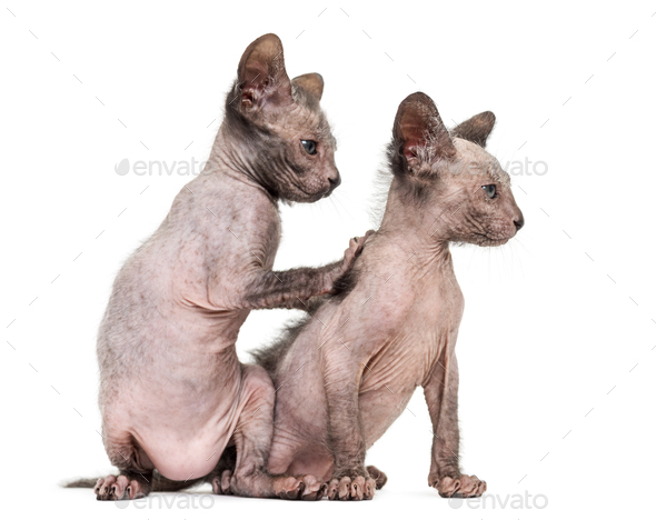 Kitten Lykoi cats, 7 weeks old, also called the Werewolf cat against white background - Stock Photo - Images