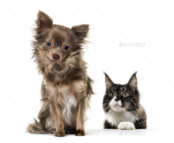 Mixed breed dog watched by Maine Coon cat against white background - Stock Photo - Images