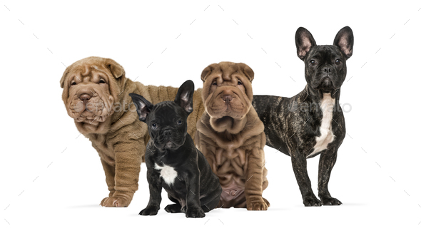 Shar Pei puppies and french bulldogs together against white background - Stock Photo - Images