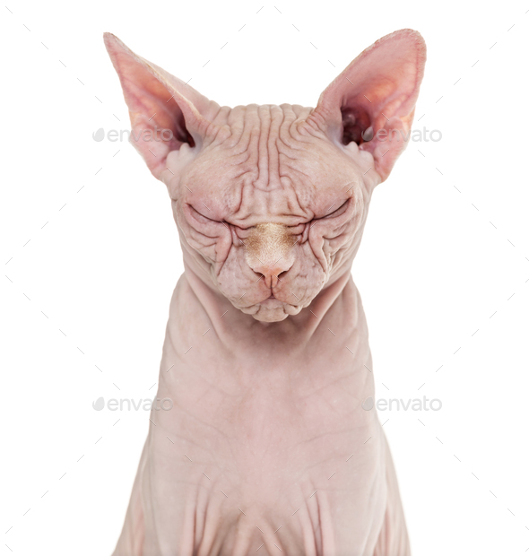 Sphynx Hairless Cat, 4 years old, with eyes closed against white background - Stock Photo - Images