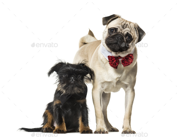 Pug and Griffon together against white background - Stock Photo - Images