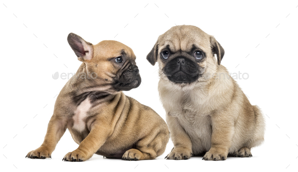 Pug and bulldog puppies side by side, isolated on white - Stock Photo - Images