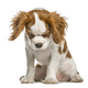Cavalier King Charles Spaniel puppy looking down, isolated on white - PhotoDune Item for Sale