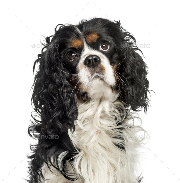 Close-up of a cavalier charles, isolated on white - Stock Photo - Images