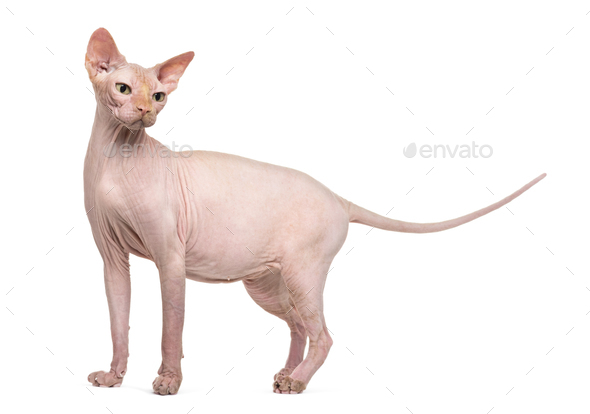 Sphynx, 4 years old, against white background - Stock Photo - Images