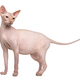 Sphynx, 4 years old, against white background - PhotoDune Item for Sale