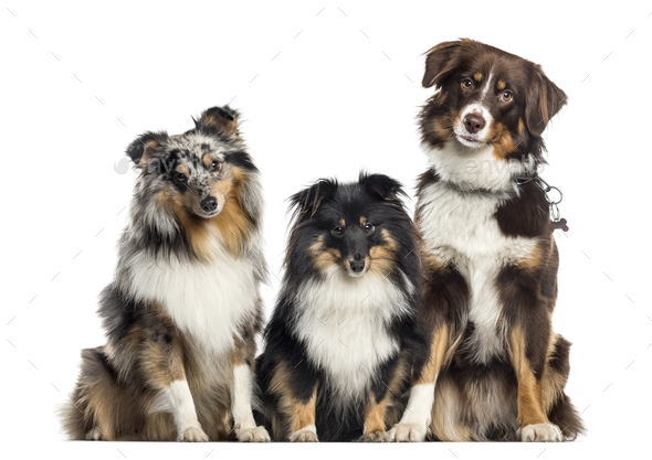 Shetland Sheepdog and Australian Shepherd, dogs in a row, white background - Stock Photo - Images