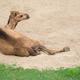 dromedary camel lying on sand - PhotoDune Item for Sale