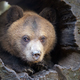 Close up bear cub portrait - PhotoDune Item for Sale