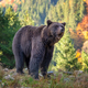 Bear (Ursus arctos) in autumn forest - PhotoDune Item for Sale
