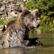 Bear (Ursus arctos) in lake - PhotoDune Item for Sale