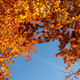 Autumn leaves with the blue sky background - PhotoDune Item for Sale