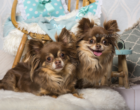 Chihuahua dogs lying on fur in studio sitting on chair in studio, portrait - Stock Photo - Images