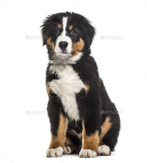 Bernese Mountain Dog 4 Months Old Sitting Against White Background