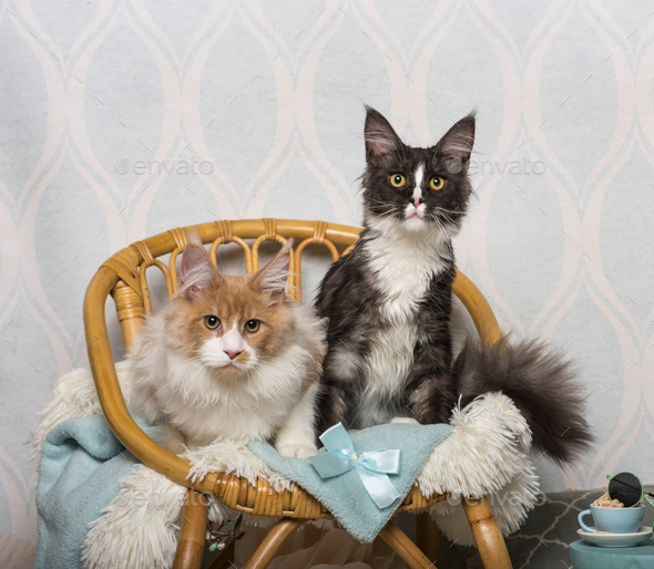 Maine coon cats sitting on chair in studio, portrait - Stock Photo - Images