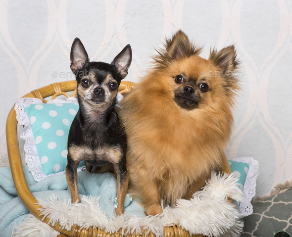 Chihuahua dog sitting on chair in studio, portrait - Stock Photo - Images