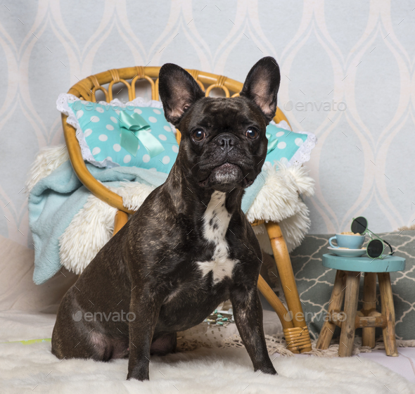 French bulldog sitting in domestic room, portrait - Stock Photo - Images