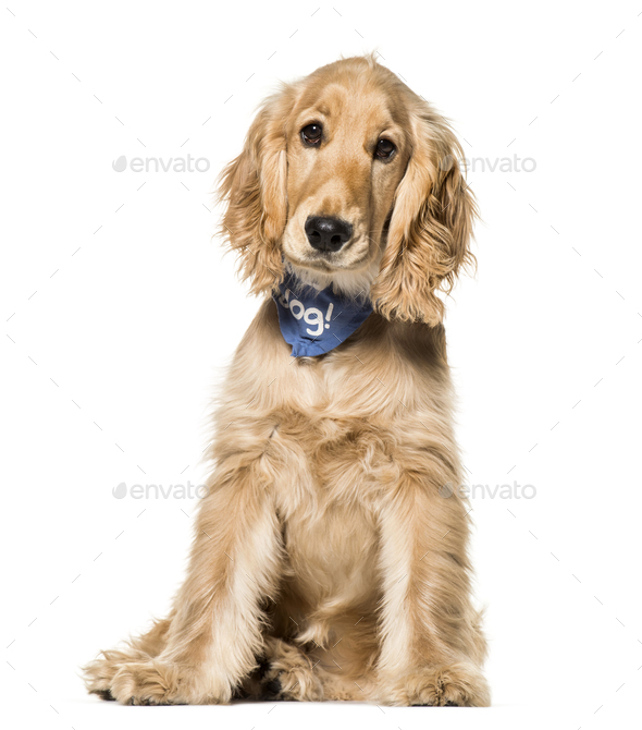 Cocker Spaniel dog , 6 months old, sitting against white background - Stock Photo - Images