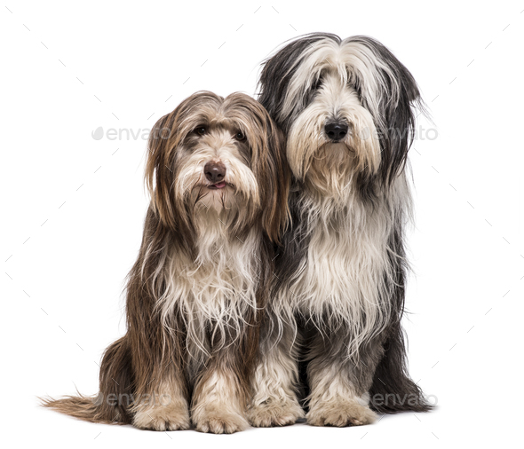 Bearded Collie dogs sitting together against white background - Stock Photo - Images