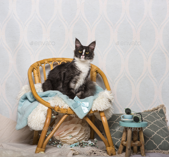 Maine coon cat sitting on chair in studio, portrait - Stock Photo - Images