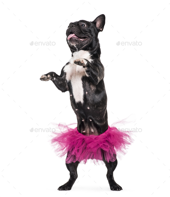 French Bulldog, 1.5 years old, dancing in tutu standing against white background - Stock Photo - Images