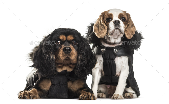 Cavalier King Charles Spaniels , 3 years old and 5 years old, sitting against white background - Stock Photo - Images