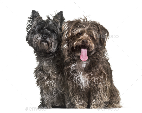 Mixed-breed dogs sitting together against white background - Stock Photo - Images