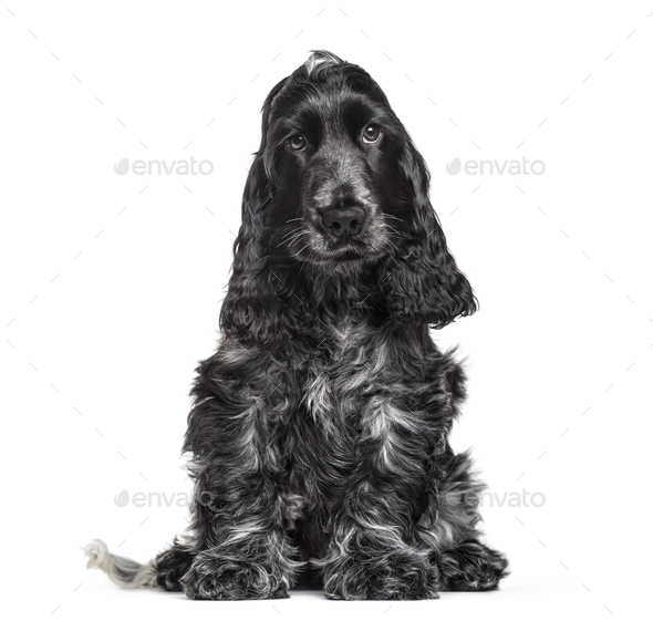 Cocker Spaniel puppy , 3 months old, sitting against white background - Stock Photo - Images