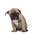 French Bulldog , 3 months old, sitting against white background - PhotoDune Item for Sale