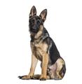 German Shepherd dog looking at camera against white background - PhotoDune Item for Sale