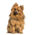 Keeshond dog looking at camera against white background - PhotoDune Item for Sale
