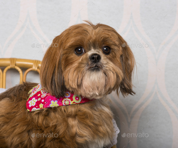 Shih Tzu dog in floral clothing sitting in domestic room, portrait - Stock Photo - Images