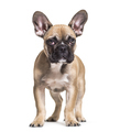 French Bulldog, 5 months old, standing against white background - PhotoDune Item for Sale