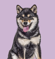 Shiba Inu puppy , 4.5 months old, sitting against purple background - PhotoDune Item for Sale
