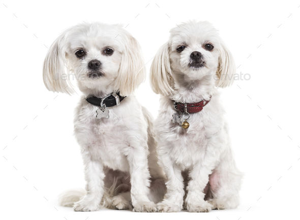 Maltese dogs, 4 years old, sitting against white background - Stock Photo - Images