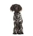 Munsterlander dog , 9 months old, sitting against white background - PhotoDune Item for Sale