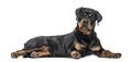 Rottweiler dog lying against white background - PhotoDune Item for Sale