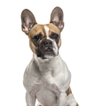 French Bulldog , 3 years old, sitting against white background - PhotoDune Item for Sale