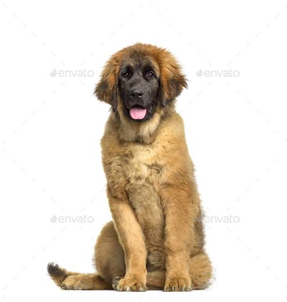 Leonberger puppy, 4 months old, sitting against white background - Stock Photo - Images