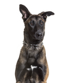 Malinois dog, 7 months old, sitting against white background - PhotoDune Item for Sale