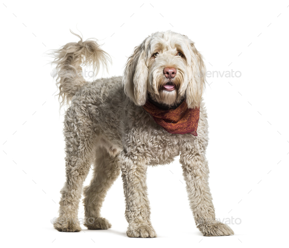Portuguese Water Dog standing in portrait against white background - Stock Photo - Images